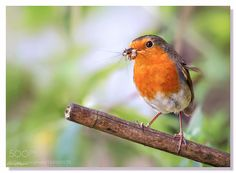 Robin with food.. by luciannefilip #animals #animal #pet #pets #animales #animallovers #photooftheday #amazing #picoftheday