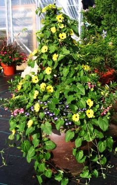 Thunbergia(black eyed susan) give height to your Planter