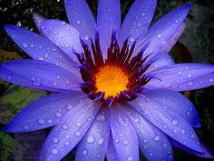 Tanglewood blue
