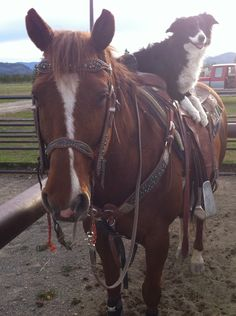 Cow dog and cow pony! Two important parts of ranching.