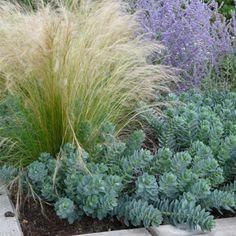 :: Euphorbia myrsinites - Walzen-Wolfsmilch :: Mit Stauden gestalten :: Steppengarten - Pflanzenversand Gaissmayer