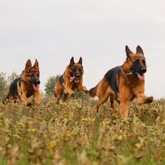 GSDs...running free