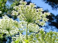 The health benefits of Angelica Essential Oil can be attributed to its properties like anti spasmodic, carminative, depurative, diaphoretic, digestive. Essential Oils For Anxiety, List Of Essential Oils, Patchouli Essential Oil, Essential Oil Uses, Angelica Herb, Oils For Newborns, African Herbs, Organic Oil, Health Benefits