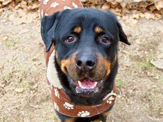 TO BE DESTROYED - 01/07/15 Manhattan Center   My name is DIOMEDES. My Animal ID # is A1024469. I am a male black and brown rottweiler mix. The shelter thinks I am about 4 YEARS old.  I came in the shelter as a STRAY on 01/02/2015 from NY 10034, owner surrender reason stated was STRAY.