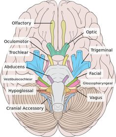 Cranial Nerves - Anatomy & Physiology - Ventral View