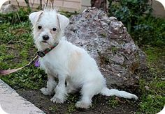 Los Angeles, CA - Maltese/Terrier (Unknown Type, Small) Mix. Meet Magic, a puppy for adoption. http://www.adoptapet.com/pet/14633325-los-angeles-california-maltese-mix