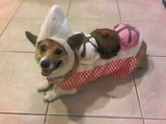 Sundaes you can't even eat. | 26 Things That You're Forced To Wear When You're A Corgi