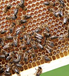 No bees = no food. Don't use pesticides in the yard or garden--they kill the necessary insects, too; not to mention putting poison into the food chain. See link for beekeeping info (retail, but a start).