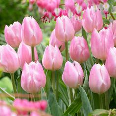Tulip Christmas Pearl - Parkers Wholesale
