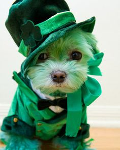 Lil' leprechaun dressed up pets, love it!