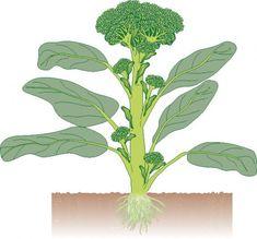 Brokkoli Zeichnung