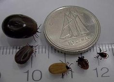 Ticks are very abundant in Ontario this summer. Most times they won't even be noticed, since most are very small.