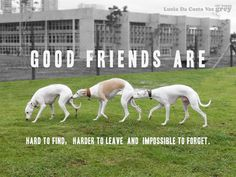 Happy Grey added a new photo — with Paula Assadourian and Lucia Da Costa Vaz. Greyhound Art, Italian Greyhound, I Love Dogs, Cute Dogs, Good Friends Are Hard To Find, Dog Day Afternoon, Lurcher, Grey Hound Dog, Whippets