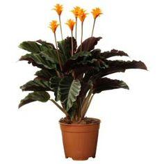 Calathea crocata is the only indoor Calathea that flowers Indoor Plants Online, Best Indoor Plants, Indoor Garden, Peacock Plant, Zebra Plant, Jade Plants, Cactus Plants, Calathea Crocata, Diy Jardin