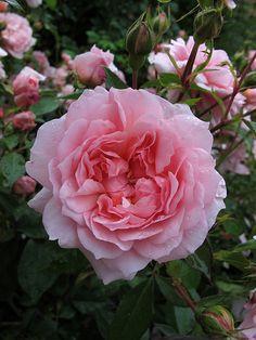 Anne Boleyn Rose