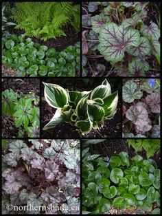 Elsewhere Online: Pretty Perennial Leaves for the Shade from Northern Shade Gardening
