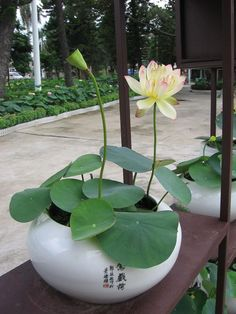 Technique de culture Bowl Lotus le jardin nelumbo com Small Water Gardens, Water Garden Plants, Container Water Gardens, Indoor Water Garden, Container Plants, Container Gardening, Indoor Plants, Lotus Plant, Zen Garden Design