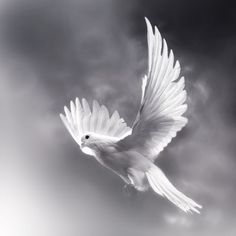 Photo Pure Soul par Josep Sumalla on Love Birds, Beautiful Birds, Animals Beautiful, Santas Tattoo, Dove Pictures, Dove Tattoos, Wing Tattoos, Saint Esprit, Photo D Art