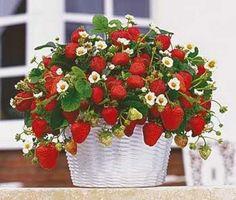 Как вырастить клубнику на балконе: красивые идеи и советы Strawberry Delight, Strawberry Fields Forever, Strawberry Recipes, Fruit Trees, Trees To Plant, Container Plants, Container Gardening, When To Plant Strawberries, Raspberries