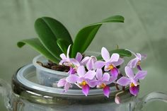 Phalaenopsis equestris Orchids Garden, Garden Plants, House Plants, Orchid Propagation, Glass Transfer, Leaves Of Grass, Growing Orchids, Phalaenopsis Orchid, Orchid Care