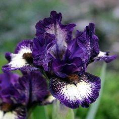MDB Iris Be Brief - Black 08