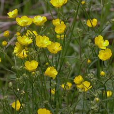 Ranunculus acris (Meadow Buttercup) is variable in appearance across the world. It is a somewhat hairy plant that has ascending. Flowers Perennials, Planting Flowers, Flower Garden Plans, Australian Plants, Farmhouse Garden, Language Of Flowers, Botanical Flowers, Delphinium, Ranunculus