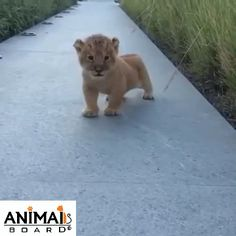 Cute lion baby has tried his first roar. Please follow Animals Board for more videos