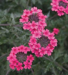 Verbena 'Sissinghurst' is a lovely bright rich pink verbena which is grown in the urns and pots at Sissinghurst.