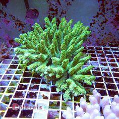 Acropora millepora XXL Ice Cream Cactus Plants, Ice Cream, No Churn Ice Cream, Icecream Craft, Ice, Gelato, Cacti