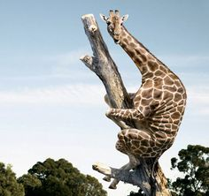 3D Cardboard Tree | Giraffes are in fact, tree dwelling primates only venturing into the ...
