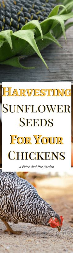 Can you harvest your sunflower seeds for chickens? Absolutely! And they'll even thank you for it!