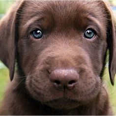 Choc Lab Puppy, look at those eyes omg!