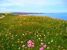 Looking through the wild flowers toward Spittal Beach in Berwick upon Tweel from North Sea Trail in Northumberland, UK