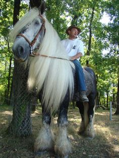 Poitou horse (France). Gorgeous big working class horse standing in the scattered light of the woods. Dapple grey and beautiful long flaxen white blonde mane and feathered feet. This horse is beautiful!