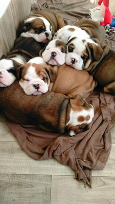 The major breeds of bulldogs are English bulldog, American bulldog, and French bulldog. The bulldog has a broad shoulder which matches with the head. Cute Dogs And Puppies, Baby Dogs, I Love Dogs, Doggies, The Bulldog, Funny Bulldog, Dog Photos, Dog Pictures, Gatos