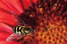 Bee on a blanketflower.  Photo Credit: Paul Gill