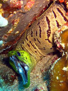 Moray eels are cosmopolitan eels of the family Muraenidae. The approximately 200 species in 15 genera are almost exclusively marine, but several species are regularly seen in brackish water, and a few, ...  http://en.wikipedia.org/wiki/Moray_eel