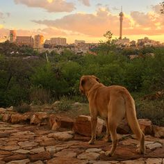 Joburg Skyline from The Wilds Park, Johannesburg. By artist James Delaney James Delaney, Wild Park, One And Only, Day Trips, Grand Canyon, Labrador Retriever, Skyline, Dogs, Travel