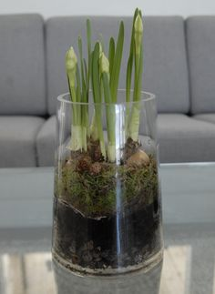 Bulbs, narcissus, flowers, interior.  Visit my blogg, titalita.blogg.no