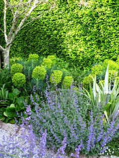 Euphorbias, astelia and nepeta