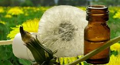 Dandelion Health Benefits: Gene splicing #cannabis and #dandelion