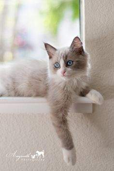 Ragdoll Cat Gallery - Cat's Nine Lives Pretty Cats, Beautiful Cats, Animals Beautiful, Pretty Kitty, Cute Cats And Kittens, Cool Cats, Kittens Cutest, Animals And Pets, Baby Animals
