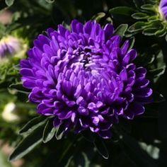 """Aster milady deep blue - annual, summer till fall, 10-12"""" (seeds)"""