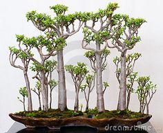 Crassula Forest As Bonsai