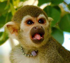 Common Squirrel Monkey (Saimiri sciureus)_21 | Flickr - Photo Sharing!