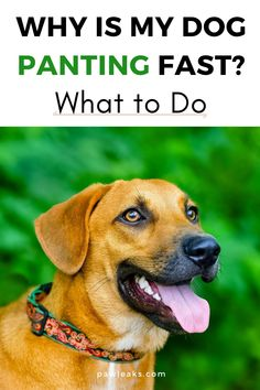 When you think about heavy breathing in dogs, you probably see a dog that is vigorously panting after an extensive game of fetch. It's normal for dogs to breathe heavy and fast after extortion but what if your dog is just sleeping or hasn't been outside yet? But how do you know if your dog is really breathing weird or just normal? And what should you do about heavy breathing? #dogs #health #panting #summer Dog Pants, Dog Breath, Heavy Breathing, Puppies Tips, Summer Dog, Separation Anxiety, Dog Care Tips, Sleeping Dogs, Dog Behavior