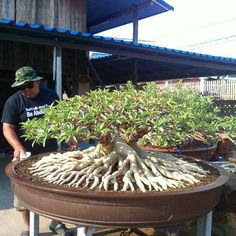 Look at the amazing roots on this bonsai tree Bonsai Indoor, Bonsai Plants, Bonsai Garden, Garden Planters, Bonsai Tree Care, Bonsai Tree Types, Mame Bonsai, Succulent Gardening, Planting Succulents