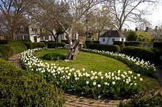 Williamsburg garden--tulips and box Colonial Garden, Colonial Williamsburg, Botanical Gardens, Beautiful Gardens, Garden Plants, 18th Century, Tulips, Orlando Jones, Gardens