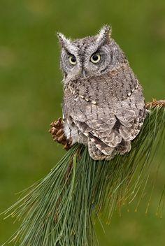andyouwhisperyouloveme:    Eastern Screech Owl  © Pierre Giard
