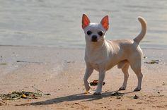 Love this chihuahua photo